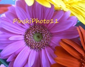8 x 10 Colorful Gerbera Daisies Flowers Pink Yellow Red