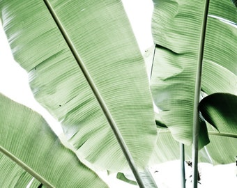 "Botanical photography / pale green photograph / tropical green leaves / minimal white modern art photography 16x20  ""Musa Leaves"""