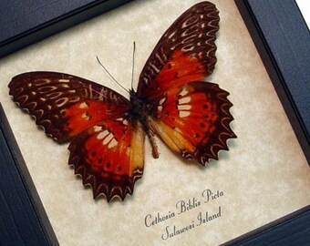 Real Framed Cethosia Biblis Picta Butterfly Shadowbox Display 8132