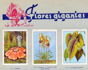 1932 Vintage Spanish Sheet of Illustrations on Giant Flowers. Sheet 14