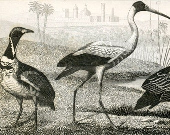 1860 Antique Steel Engraving of Bustards, Crane, White Ibis, and Other Birds. Plate 94
