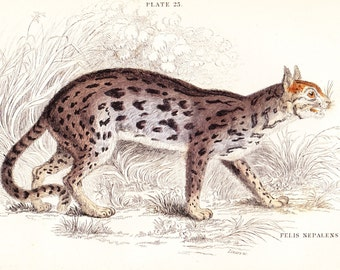 The Nepaul Cat (Felis Nepalensis) Antique Print . original old vintage hand coloured feline art engraving dated 1834