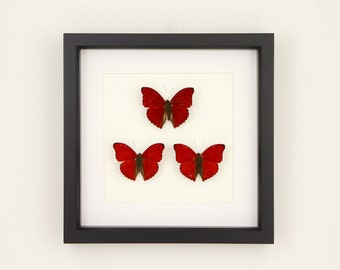 Love Triangle Framed Butterflies Red Sangria Butterfly Display Cymothoe sangaris