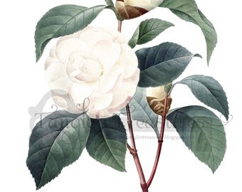 Large High Resolution Vintage French White Camellia Printable Digital Image: Commercial Use - Image No. R35 Instant Download