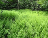 30 hay scented ferns,Dennstaedtia punctilobula