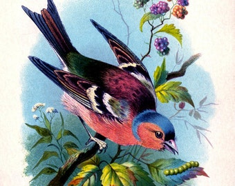 "Vintage Woodland Print ""Rainbow Bird"" Bright Colourful Natural History Illustration - Bird Feathers Colorful"