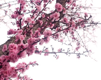 Spring Blossoms, Flower Photograph, 8x10, Cherry Blossoms, Dreamy Pink Soft