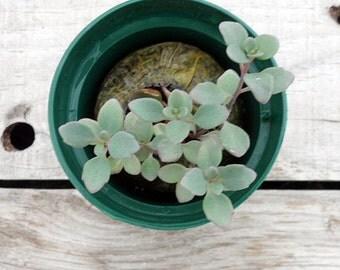Sedum sieboldii nana, Dwarf October Daphne, Potted Plant