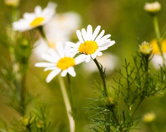 Chamomile, German Chamomile Seeds - Outstanding Herb for the Home Garden Make Your Own Fresh Herbal Tea from the Garden