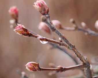 New Life, Fine Art Photography, Fresh Spring Buds after rain, Rose and earth tones, Nature Photography Macro