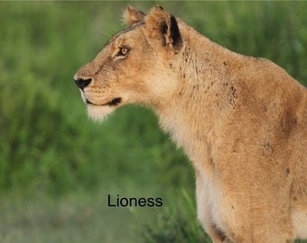African Lioness - Blank Notecards - OR - You Choose the Occasion and the Inscription - Customized Notecards