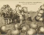 Harvesting Onions Exaggeration Postcard W H Martin 1910 Barrel Duplex Cancel