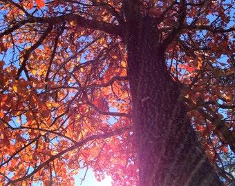 Fall Colors / Sunshine / Suns Rays thru Tree / Fall Leaves 11 x 14