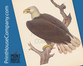 Bird, Vintage Bald Eagle print, by Athos Menaboni, Natural history bird art, Ornithology