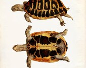 Vintage Turtle on Antique Paper Print 8x10 P269