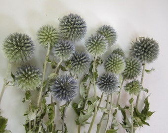 "Dried Globe Thistle -- set of 6 -- Preserved  -- 5"" long"