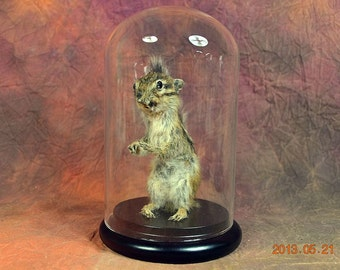 taxidermy of  chipmunk with glass dome and wood base birthday gift,Christmas gift