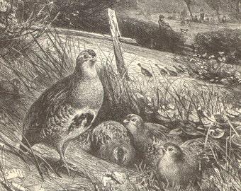 1892 Grey Partridge, English Partridge or Hungarian Partridge Original Antique Engraving to Frame