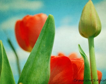 Flower Photography Red Tulips Fluffy Clouds Spring Flowers Botanical Aqua Green Red Photograph 8x12