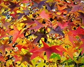 Autumn Colors, Fall leaves, red, yellow green, sweet gum tree, abstract art, Fine Art Print, Wall art