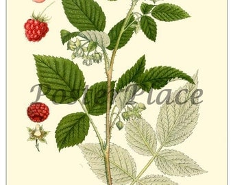 Red Raspberry ART CARD Antique Botanical print reproduction