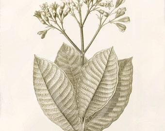 Sale Antique Botanical Art Print - 8x10 - Macrocnemum corymbosum