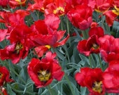 Red tulips, flower photo, garden photo, red, hot, tulip filed, bright,12x8 Giclee print - titled: Red tulips