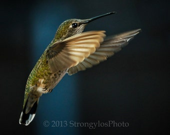 Bird photo, Annas Hummingbird, Nature Photography, print, StrongylosPhoto, flying bird photo