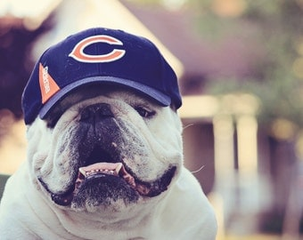 5x7 print of English Bulldog wearing a Chicago Bears hat