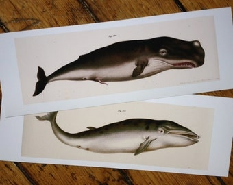 WHALES set of 2 sea mammal prints glorious vintage nature print - blue & sperm whale