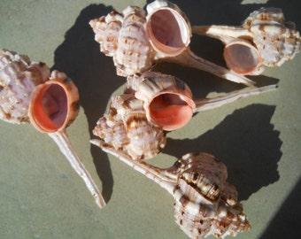 BEACH NAUTICAL DECOR murex haustellum