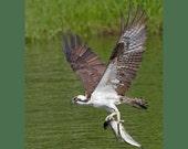 Osprey bird photograph- 5 x 7 matted