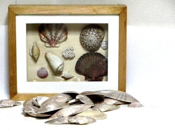Seashells 25 Assorted Sunray Venus Shells Supplies Beach Theme Assemblage Crafts