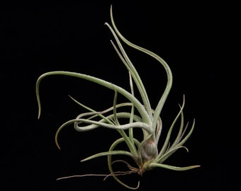 Tillandsia baileyi-Small Clusters-Easy to Grow Airplant