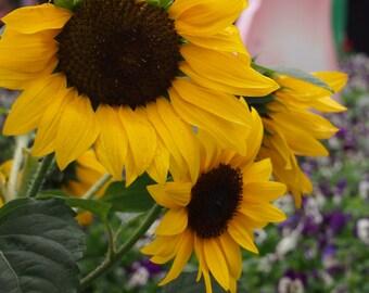 Heirloom 70 Seeds Skyscraper Helianthus annuus Sunflower Yellow Sun Flower Fresh Bulk B6073