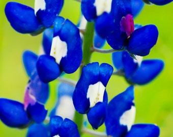 Bluebonnet Closeup, Landscape photography, Texas, Hill Country, Western, flowers, rustic art, bluebonnets, fine art print