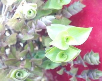 Five (5) Bolivian Wandering Jew Cuttings. Creeping Inch Plant  succulent -sedum ground cover