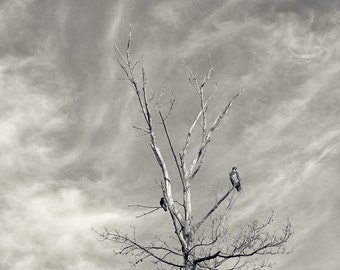 "Two young bald eagles pirched on a tree 8""X8"" photograph."