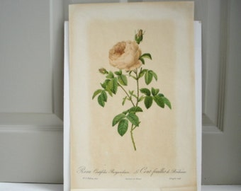 Vintage Rose Print - Botanical Drawings