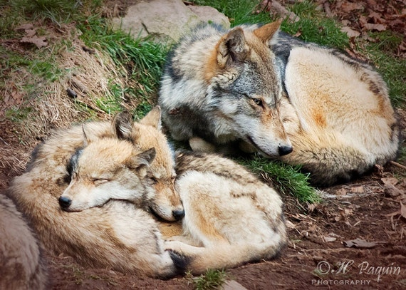 Eastern Wolf Cubs Pops And Mother 5x7 Fine Photo Room Decor