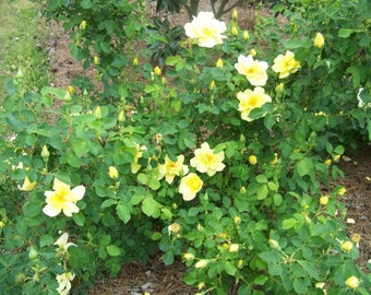 Yellow Shrub Rose Live Plant Starter Plant