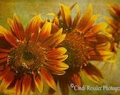 Sunflower Trio, Fine Art Photography, Flower Photography, Floral Photography