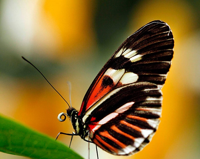 Heliconius, Fine Art Photography, Butterfly Photography