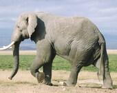 Walking Elephant - 5x7 Fine Art Photograph Print for Jacquline Hoffman