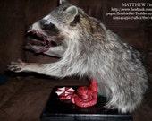 Resident Evil Raccoon taxidermy