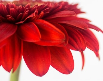 Flower Art Print, Red Daisy Photo, Gerbera Daisy Wall Art Print, Flower Photography
