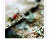 Nature Ant Insect Photography, Macro, Home Decor, 5 x 5 print Fine Art Photography Print, red, turquoise, mint