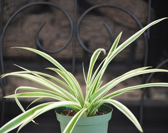 """Live Ocean Spider Plant - Easy to Grow - Cleans the Air- 4"""" Pot   Free Shipping  w/Fertilizer Gift"""