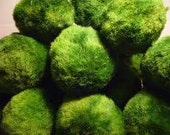 Small MARIMO Moss Ball AMAZING Aquarium Plant - Ships Fast From NJ