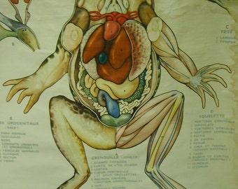 Vintage Belgian School Chart (Anatomical Study of Frog)